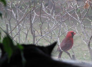 cardinal on a branch being watched by a cat